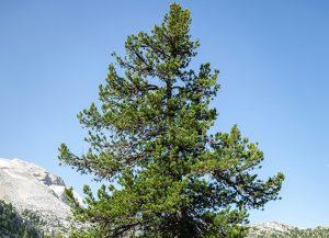 Alpenzirbe