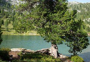 Alpenzirbe am See